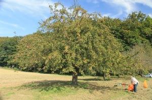 Streuobstwiese Hochstammobstbäume Ernte per Hand